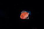 Short Bigeye- larval; Pristigenys alta, Black water Planktonic marine animals, Black Water Dive with Pura Vida Divers,