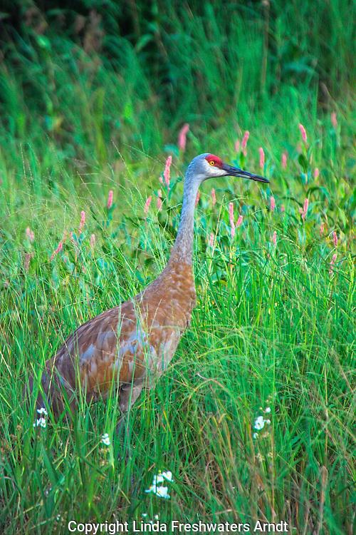 Sandhill Crane (Grus canadensis) walking in a summer field.  Winter, WI.