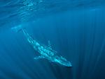 Blue Whale descending