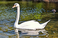 A beautiful swan in the lake Beletsi