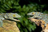 GK02-020z   Tokay Gecko - uttering threatening sound at intruder, defending territory  - Gekko gecko