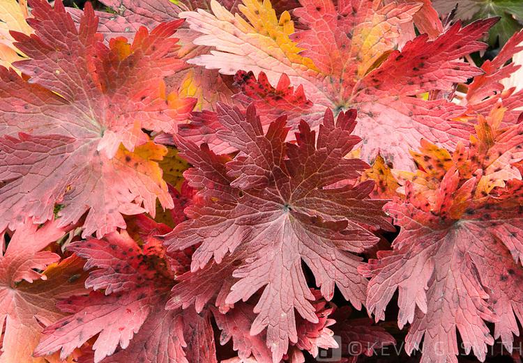 Detail, red fall foliage, Kodiak Island, Alaska, USA.