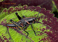 "0721-07rr  Eastern Lubber Grasshopper - Romalea guttata ""Nymph"" © David Kuhn/Dwight Kuhn Photography"
