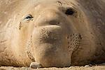 Elephant Seal close-up