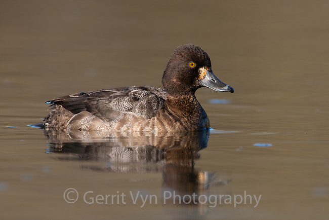 RIng-necked Duck (Aythya collaris). Washington County, Oregon. March.