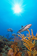 Caribbean reef sharks, Carcharhinus perezi, swimming over coral reef, Grand Bahamas, Bahamas, Caribbean Sea, Atlantic Ocean