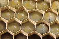 Gemeine Wespe, Gewöhnliche Wespe, Larven in den Waben, Wespennest, Nest, Vespula vulgaris, Paravespula vulgaris, common wasp, yellowjacket, wasps' nest, vespiary