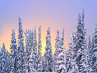 Snow on trees with sunset color. Mt. Rainier National Park, Washington