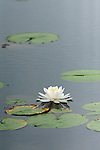 Fragrant Water Lily; Nymphea odorata