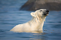 Polar bear, Ursus maritimus, sniffing the air while trying to stay cool in the summer sun near Churchill, Hudson Bay, Manitoba, Canada, Canadian Arctic, polar bear, Ursus maritimus