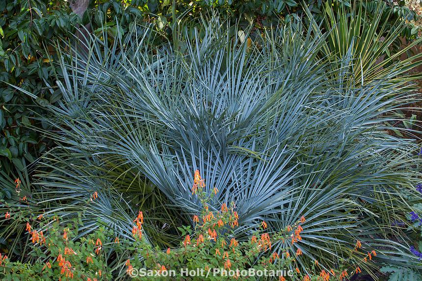 Chaemerops cerifera, silver gray foliage Atlas Mountain Palm in Kuzma garden with orange flowering Cuphea 'Strybing Sunset'