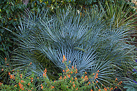 Chaemerops cerifera, silver gray foliage Atlas Mountain Palm in Kuzma garden with orange flowering Cuphea 'Strybing Sunset'