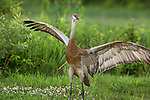 Sandhill crane preparing to fly