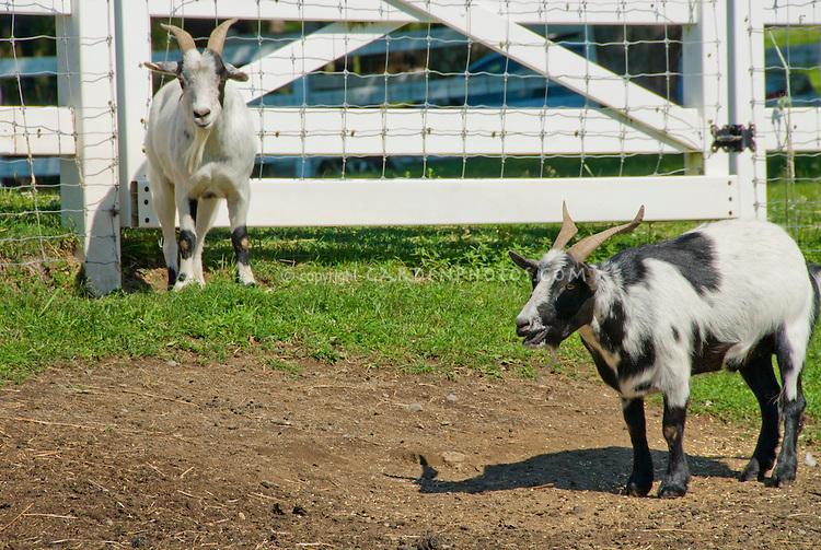 Farm paddock fence for animals, Myotonic goat