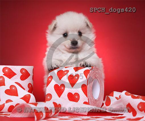 Xavier, ANIMALS, dogs, photos(SPCHdogs420,#A#) Hunde, perros