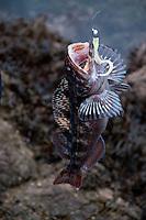 Ling Cod (Ophiodon elongatus) With Lure, Shaw Island, Washington, US
