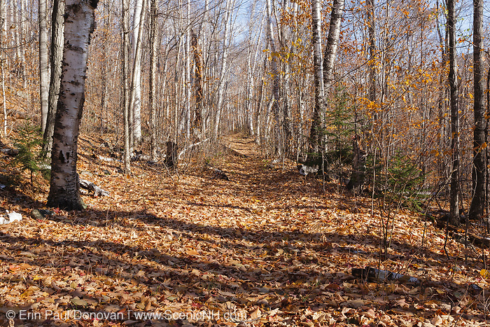 Leaf drop along the Guinea Pond Trail, near logging Camp 8, in Sandwich, New Hampshire. This trail follows the old Beebe River Railroad (1917-1942) bed and passes by many of the old logging camp sites.
