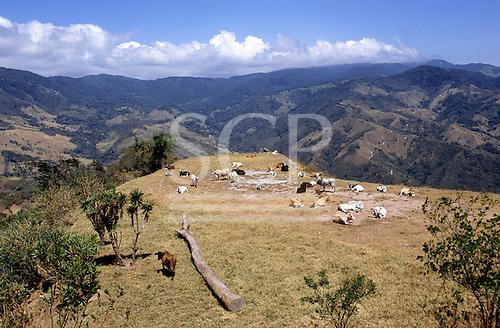 Parque Nacional Chirripo, Costa Rica, in the Cordillera de Talamanca. Cattle.