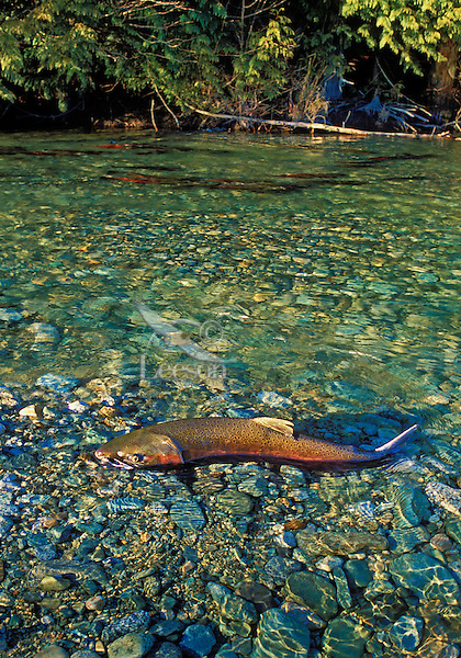 "COHO SALMON aka ""silver"" salmon. Spawning.grounds range from California to Alaska. Migration..(Oncorhynchus kisutch)."