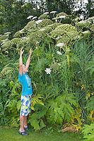 Riesen-Bärenklau, Riesenbärenklau, Bärenklau, Herkulesstaude, Herkules-Staude, Herkuleskraut, mit Kind, Junge im Größenvergleich, Heracleum mantegazzianum, Syn.: Heracleum giganteum, giant hogweed, cartwheel-flower, wild parsnip, wild rhubarb, giant cow parsnip, giant cow parsley