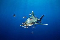 oceanic whitetip shark, Carcharhinus longimanus, accompanied by pilot fishes, Noucrates ductor, Elphistone reef, Egypt, Red Sea, Northern Africa