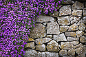 Aubrecia flowering on stone wall. Bakewell, Peak District National Park, Derbyshire, UK. April