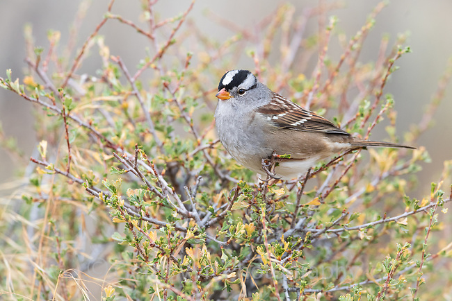 White-crowned Sparrow (Zonotrichia leucophrys). Deschutes National Forest, Oregon. September.