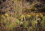 5.13.13 - Yellow Cactus of Texas....