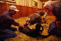 Farm manager and the watchmen deliver the foal on a Kentucky thoroughbred horse farm.
