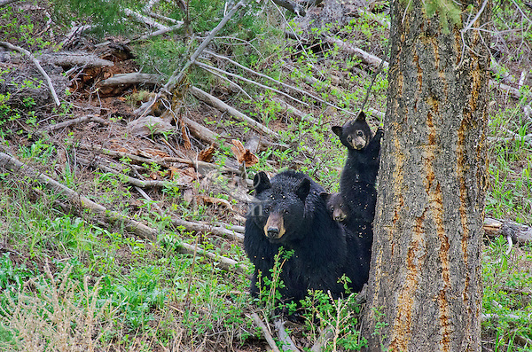 """Wild Black Bear (Ursus americanus) mother with cub.  Western U.S., spring. (These are what are known as """"coys""""--cubs of the year.)"""