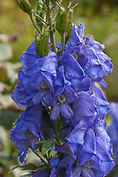 Blue flowers of autumn flowering perennial monkshood, Aconitum carmichaelii Royal Flush