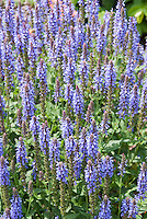 Salvia Blue Hill in blue spiky flowers ins summer bloom