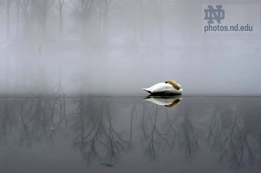 January 17, 2012; A swan sleeps on a thin layer of ice as heavy fog envelopes St. Mary's Lake mid-morning. (Photo by Barbara Johnston/University of Notre Dame)