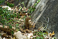 Mongoose at the petroglyphs in Reef Bay, Virgin Island National Park.  St John U.S. Virgin Islands