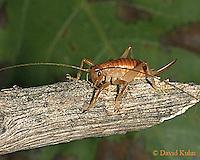 0922-06zz  Leafrolling Cricket - Camptonotus carolinensis - © David Kuhn/Dwight Kuhn Photography