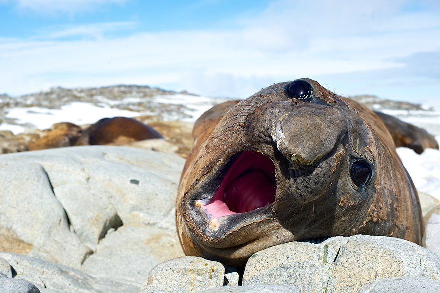 A Southern Elephant Seal yawns after an afternoon nap.