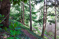 Western Hemlock tree (Tsuga heterophylla) (aka Alaska spruce) in California native plant garden
