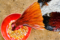 A cockfighting rooster seen during feeding in the breeding station in Cucuta, Colombia, 1 May 2006. Cockfight is a widely popular and legal sporting event in Colombia. People take advantage of cock's natural, strong will to fight. Birds are specially trained to increase their aggression, stamina and to improve their fighting techniques. They are given the best of food, care and sometimes even a doping, basically in the same way like professional athletes are. Brave cocks are highly treasured. If a fighting cock wins certain number of matches breeders keep him for reproduction and do not let him fight anymore.