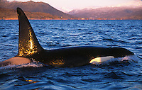 Killer whale, Orcinus orca, Adult male surfacing in fjord, Tysjord, Arctic Norway, North Atlantic