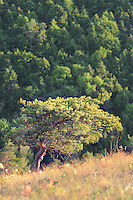 "Tree over the steep Strelnaya mountain in Russian National Park ""Samara Luka"""