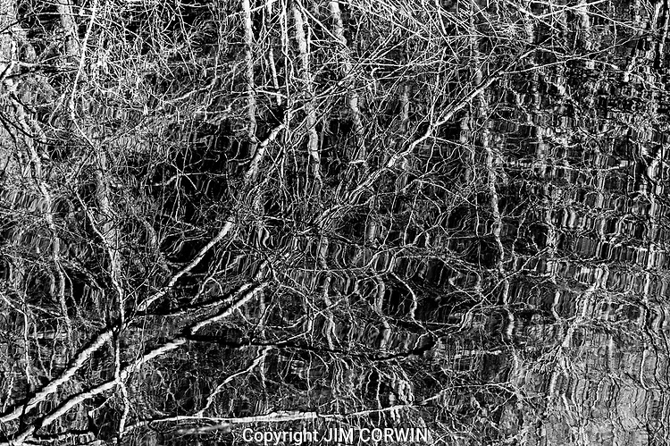 Birch Trees Reflected in Marsh, Black and White
