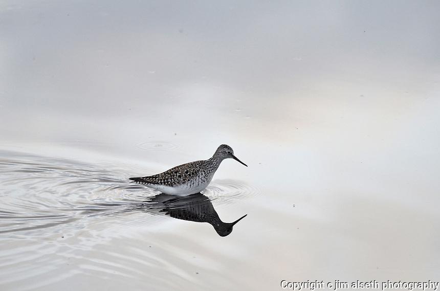 Solitary Sandpiper traverses the shallow marshlands of Gull Lake Alberta