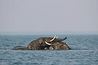 African Elephant (Loxodonta africana) males play fighting/sparring (dominance behavior) in Lake Kariba, Africa.