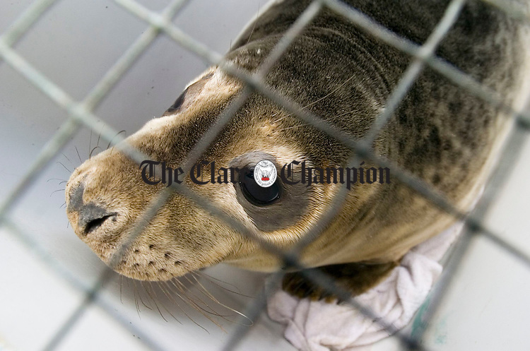 """""""Kelly"""", the seal found on the road in Limerick, pictured in her cage before being released into the sea at Seafield, Quilty, by the Irish Seal Sanctuary on Sunday last. Photograph by John Kelly."""