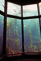 Monterey CA:  Monterey Bay Aquarium--Kelp Forest Tank.