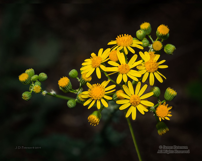 Camphorweed along Woods Canyon Trail, near Sedona
