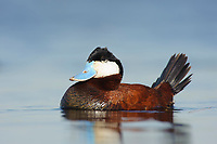 Adult male Ruddy Duck (Oxyura jamaicensis) in breeding plumage. Alberta, Canada. May.