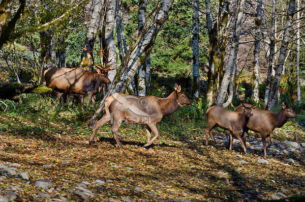 Roosevelt Elk Bull (Cervus canadensis roosevelti) and several members of his harem in red alder tree bottom along a Pacific Northwest river during the fall rut.  Red alders are common in the riparian zone along rivers and streams in the Pacific Northwest.