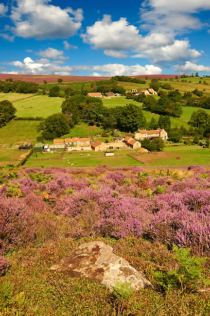 Heather blooming on the Eskdale valley moor. Castleton , Eskdale, North Yorks National Park, North Yorkshire, England