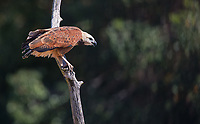 One of the most common large raptors seen in the Pantanal.